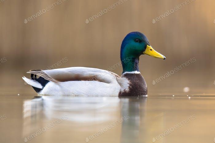 Male Wild Mallard Duck swimming