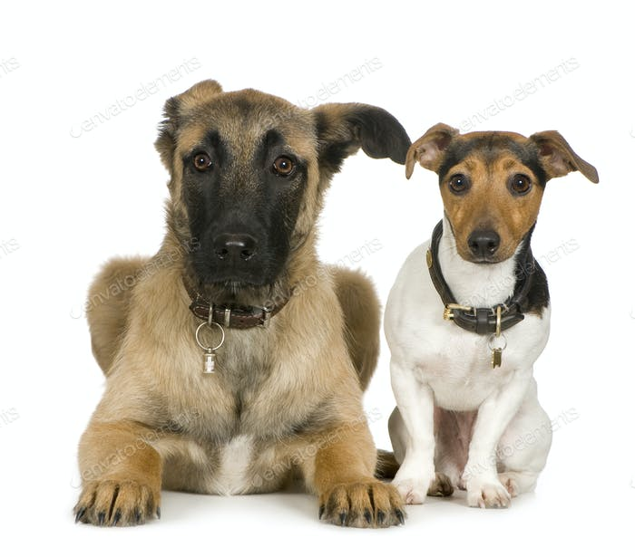 Jack russell and Crossbreed dog