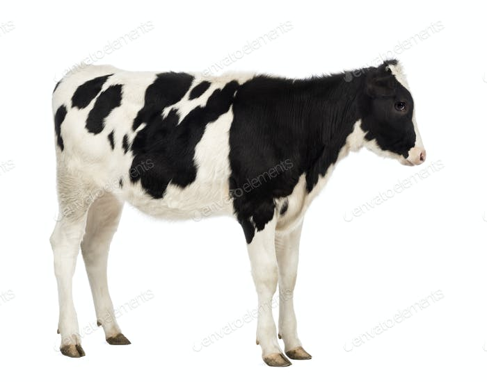 Side view of a Veal, 8 months old, in front of white background