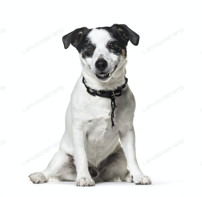 Sitting black and white Jack Russell dog, isolated
