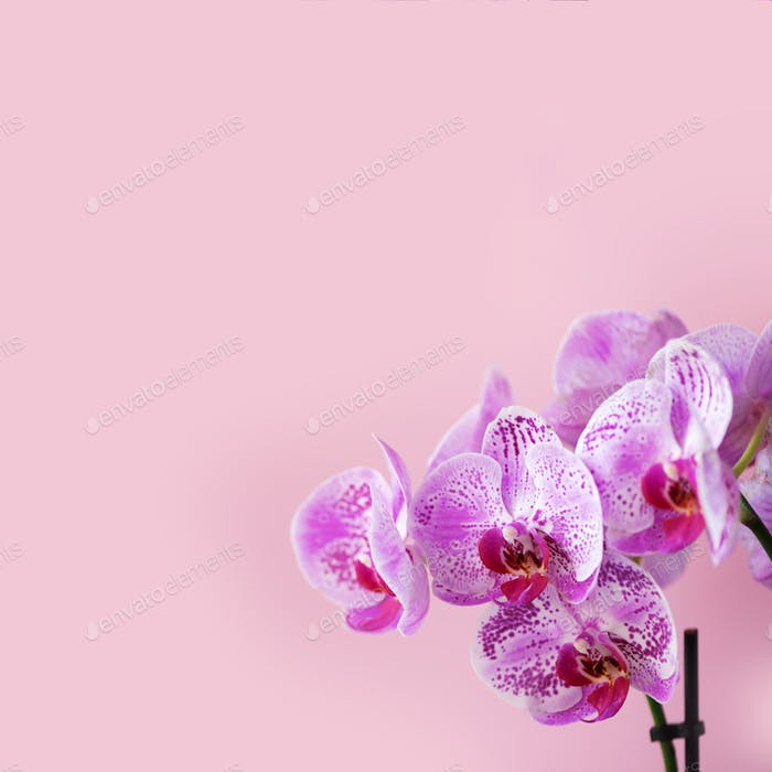 Violet orchid on pink background. Banner with copy space. Spring, woman day concept. Square crop