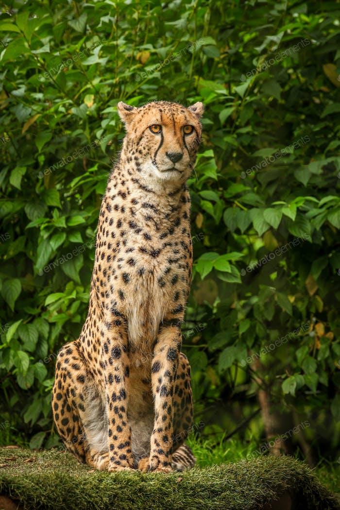 Stolzer Gepard posiert