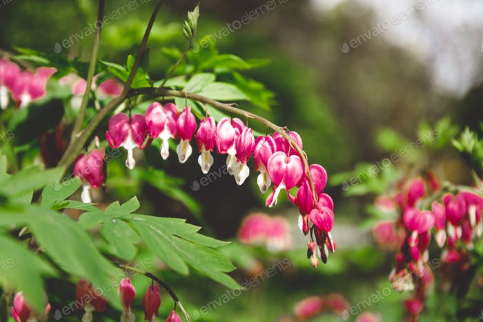 Beautiful pink bell flowers