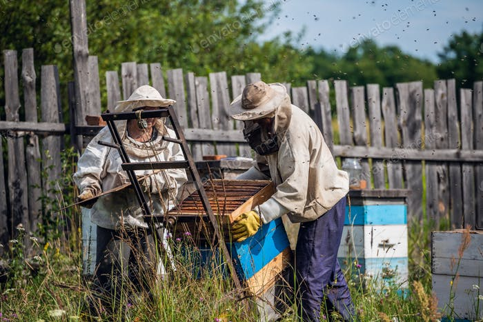 Beekeepers moving hand trolley with bee hives from apiary to extraction room. Preparing for honey