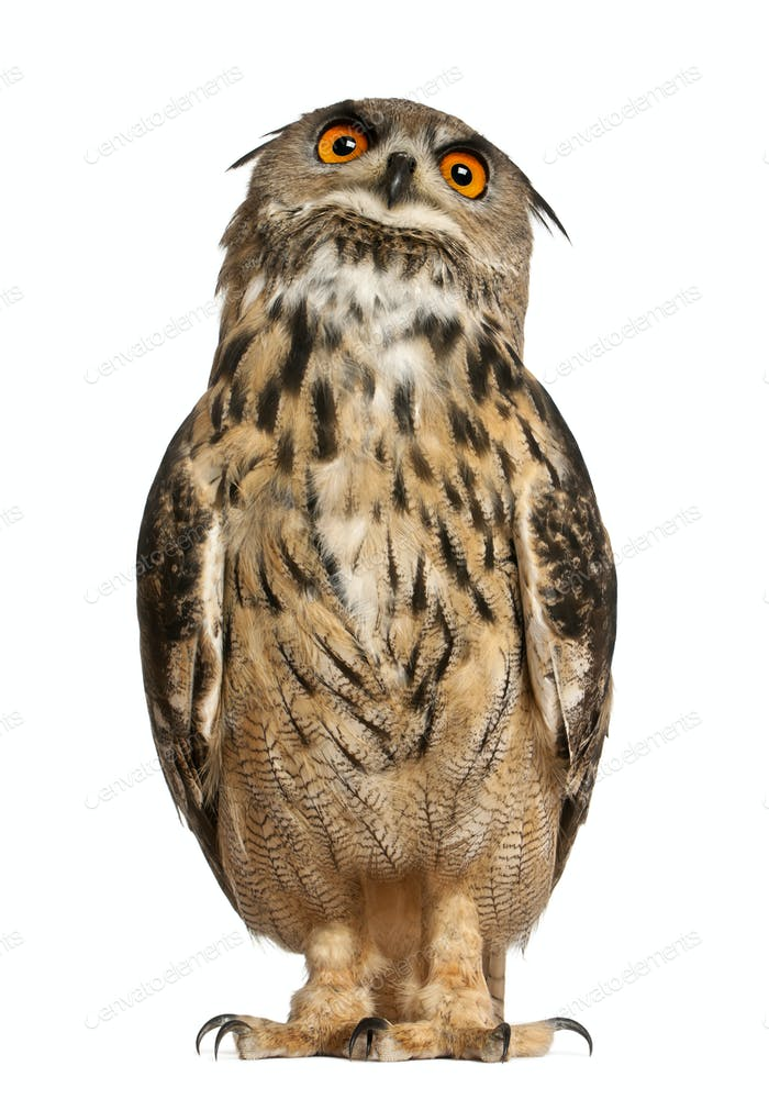 Portrait of Eurasian Eagle-Owl, Bubo bubo, a species of eagle owl