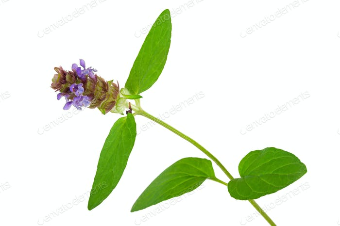 Heilpflanze: Prunella vulgaris. Selbstheilt