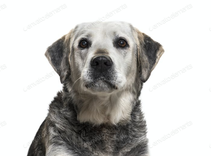 Close-up on a old Mixed-breed dog, isolated on white