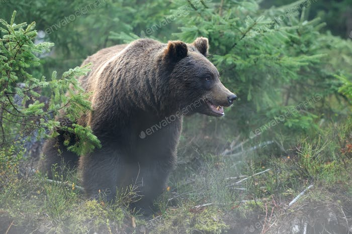 Big bear (Ursus Arctos) in forest