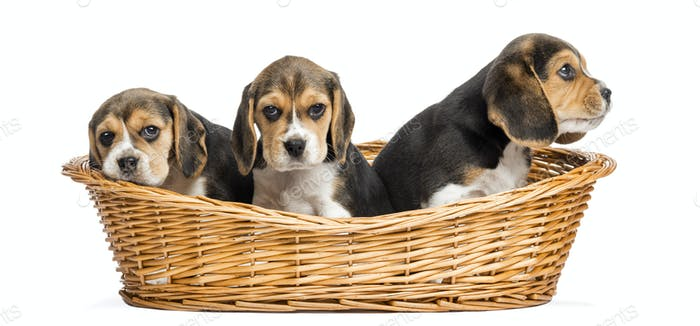 Tree Beagle puppies in a wicker basket, isolated on white