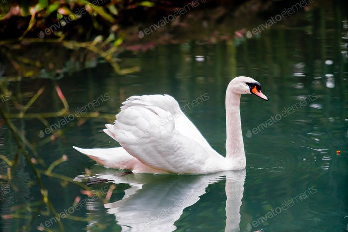 A beautiful white swan floating in the sea.