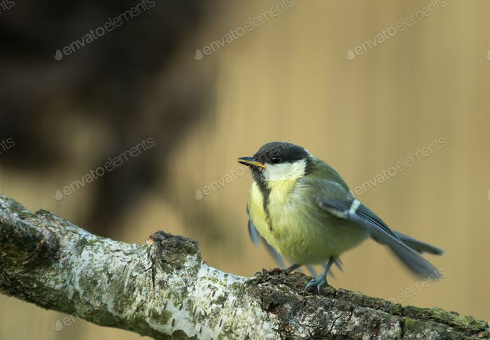 Young Great tit (Parus major) is waiting for feeding