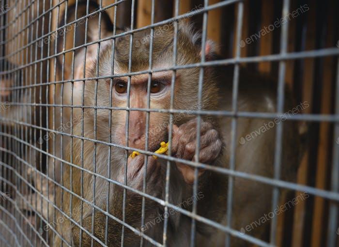 Tiermissbrauch. Porträt eines traurigen Affen in einem Käfig
