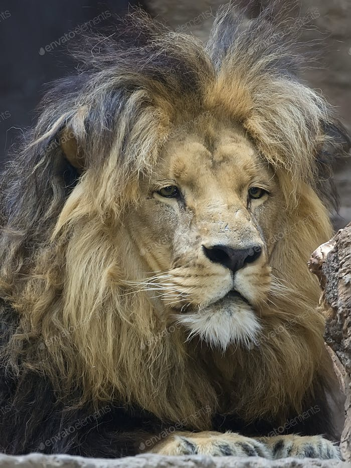 Lion, a portrait