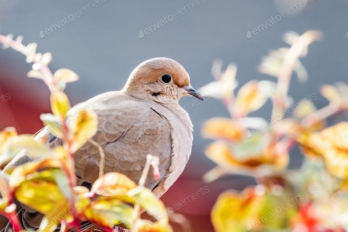 Close up of mourning dove sitting on a balcony ledge, California