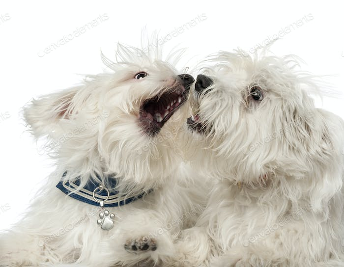 Two Maltese dogs, 2 years old, play fighting against white background