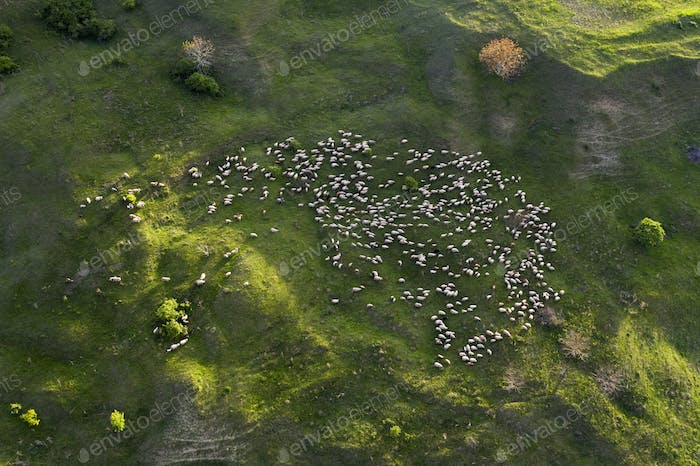 Herd of sheep in green field.