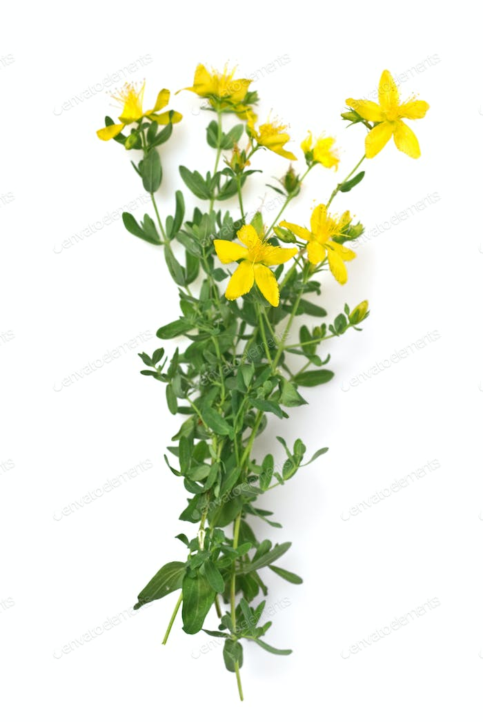 St Johns wort isolated on white
