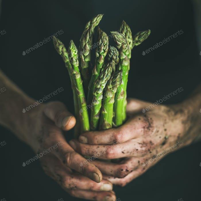 Bunch of seasonal green asparagus in dirty man' s hands