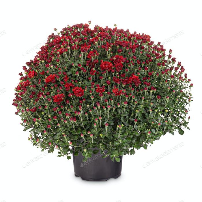 Rote Chrysanthemum-Blume