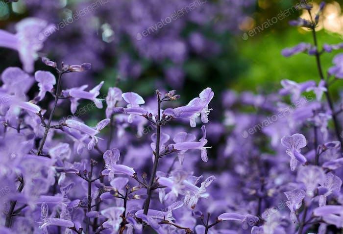 Die lila Blüten in Blüte