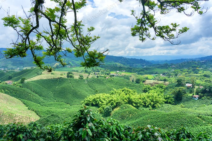 Coffee Landscape in Colombia