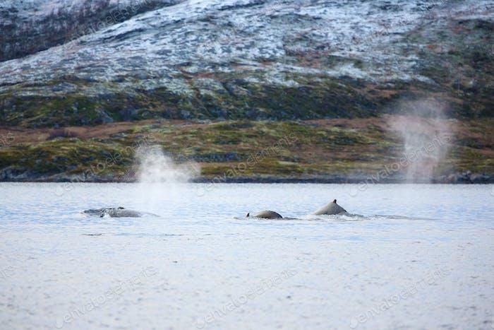 Große Buckelwale in der Arktis