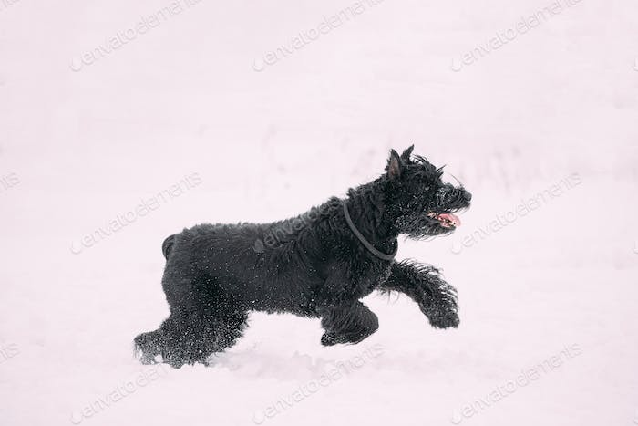 Funny Young Black Giant Schnauzer Or Riesenschnauzer Dog Walking Outdoor In Snow Snowdrift At Winter