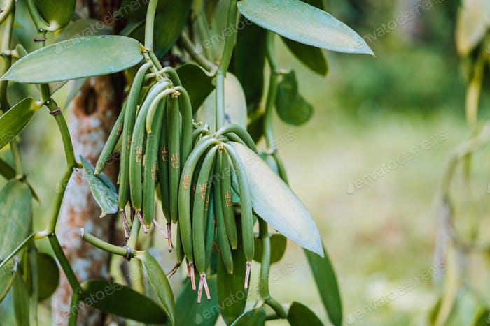 Closeup of vanilla plant green pod on plantation. Agriculture in tropical climate