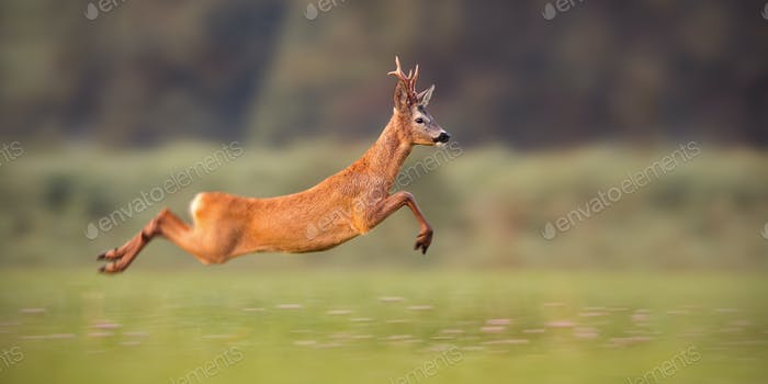 Roe deer buck sprinting fast in summer