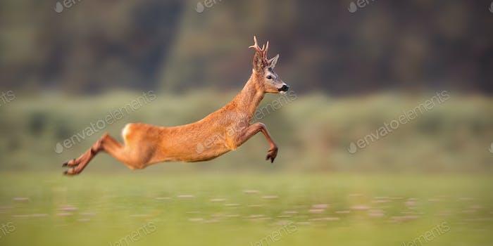 Reh Bock sprinting schnell im Sommer