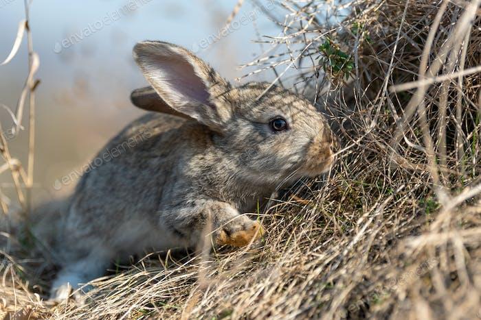Kaninchenhase im Gras