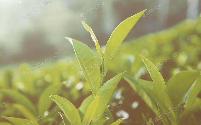 Green Leaves in Sri Lanka Concept