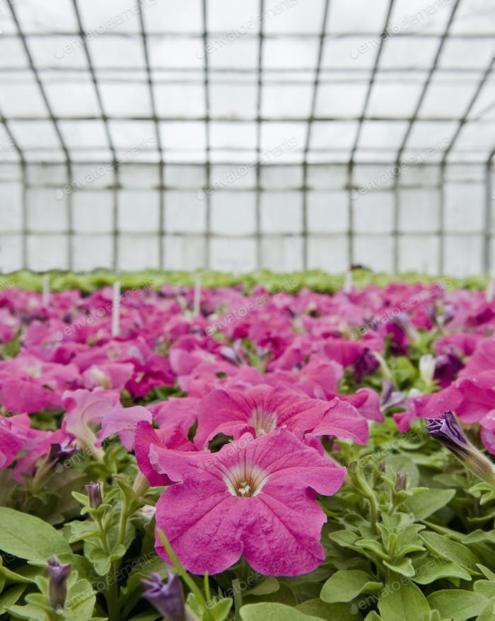 45868,Petunias in a Greenhouse