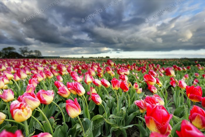 beautiful pink tulips and dramatic sky