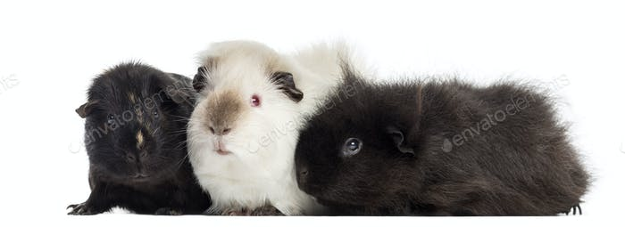 Three Guinea Pigs, isolated on white