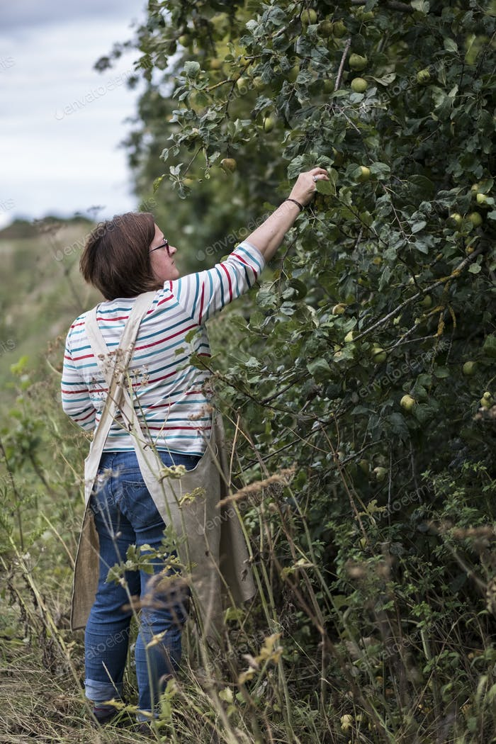 Woman wearing apron picking quinces from a tree.