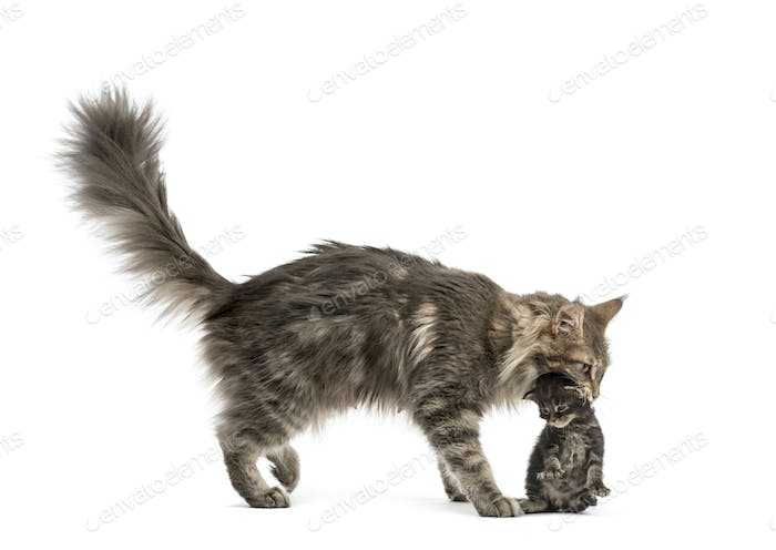 Maine coon mum holding her kitten isolated on white