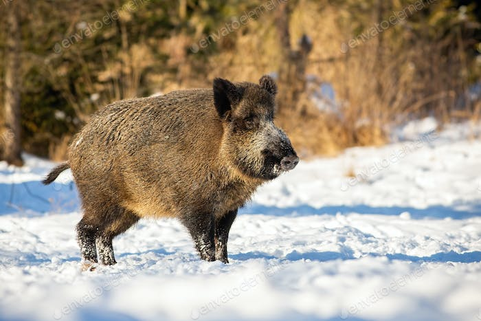 Wild boar, sus scrofa, standing and listening on a glade in winter