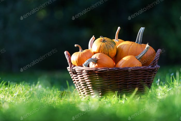 Different kind of pumpkins in garden basket