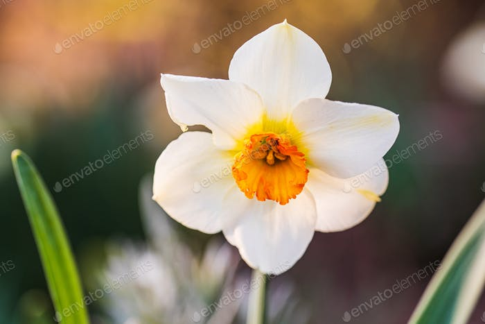 Daffodil Narcissus flowers outdors in spring