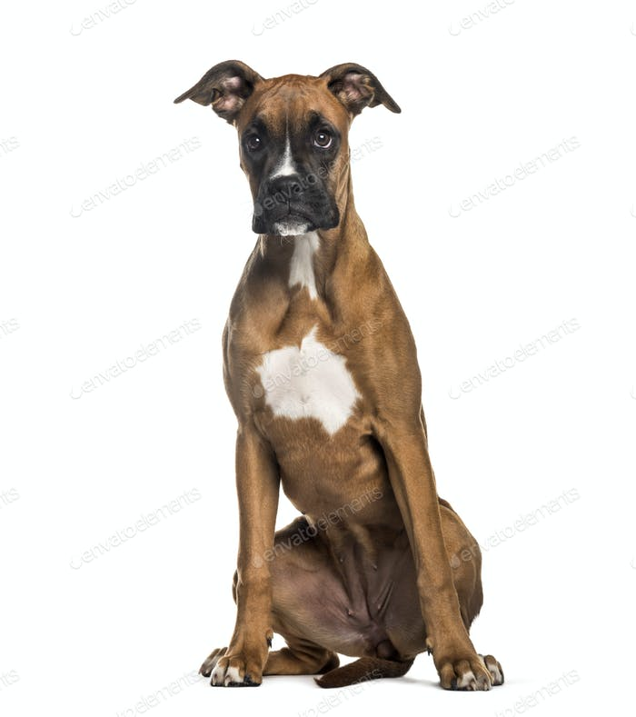 Boxer, 7 months old, sitting in front of white background