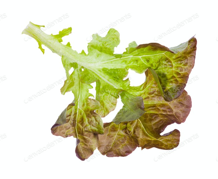 twig of Oak leaf lettuce isolated on white
