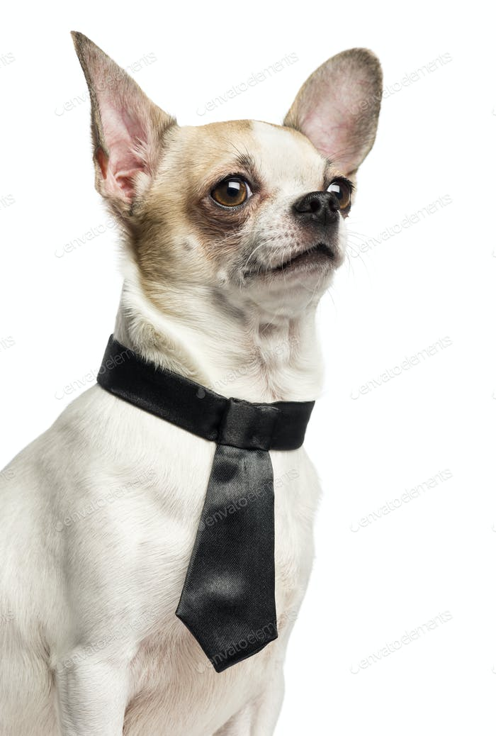 Close-up of a Chihuahua (2 years old) wearing a tie, isolated on white