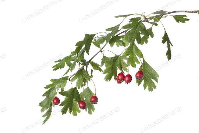 Twig of hawthorn with berries