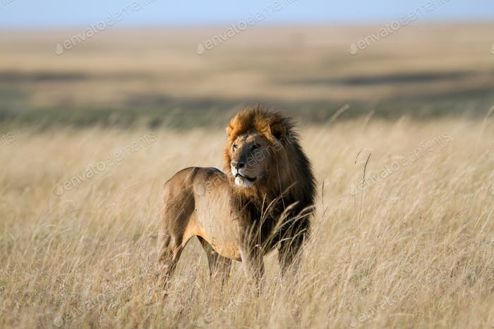 Lion found in the tanzanian national parks285