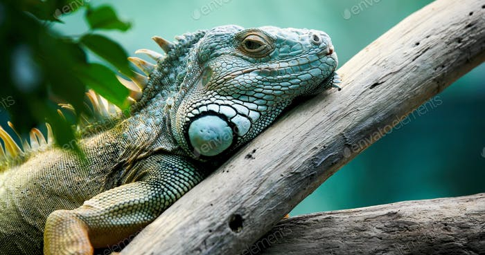 Close up of beautiful green Iguana on branch
