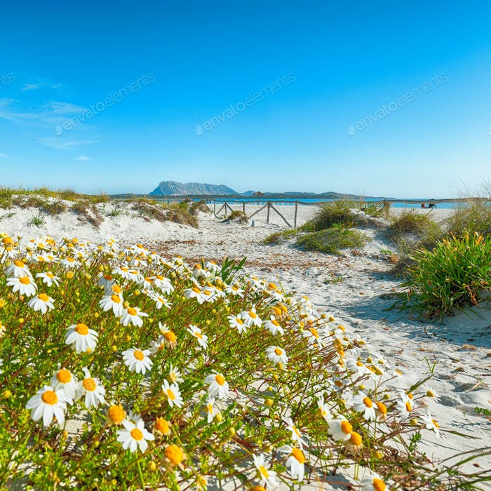 Landscape of grass and flowers in sand dunes on the beach La Cinta.