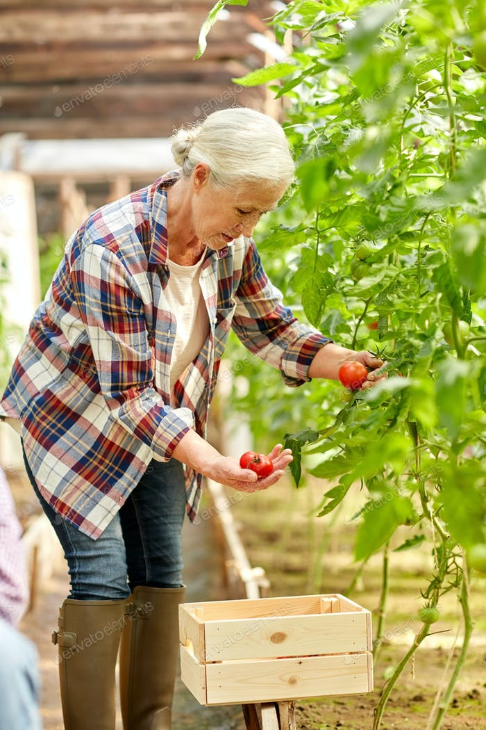 senior woman growing tomatoes at farm greenhouse