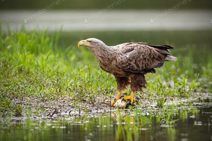Adult white-tailed eagle, haliaeetus albicilla, in summer sitting on a bank