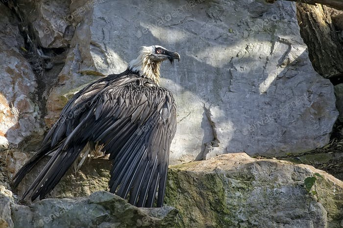 Bearded vulture - Gypaetus barbatus in the wild